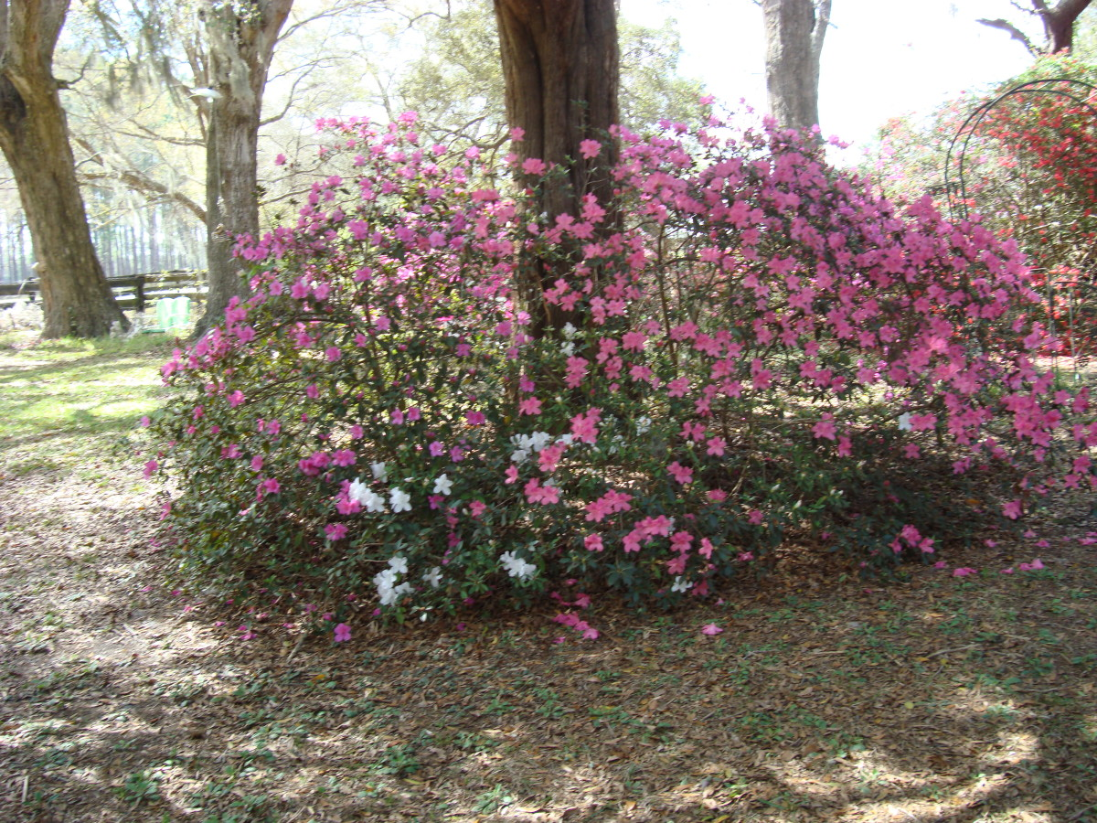 Azaleas around a Cedar Trees.