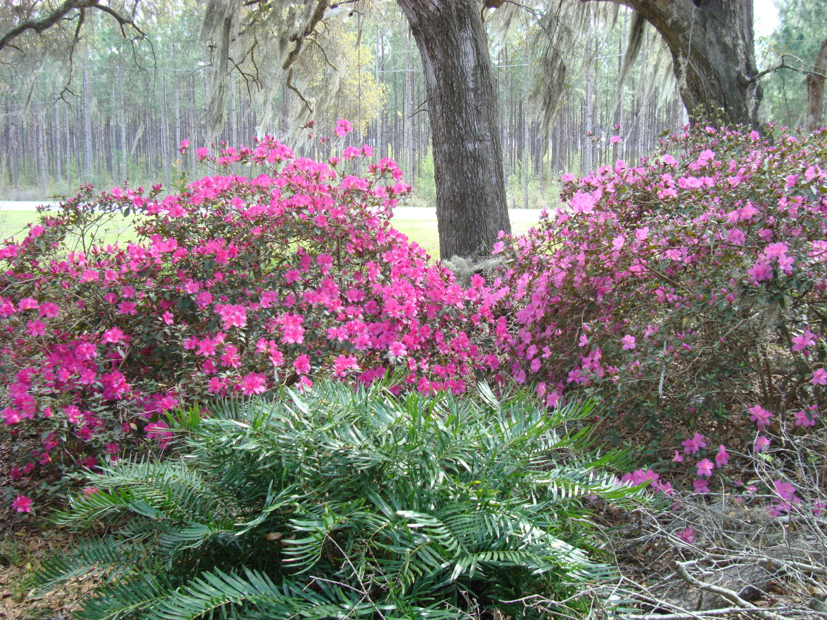 Azaleas by the Oaks in our yard.