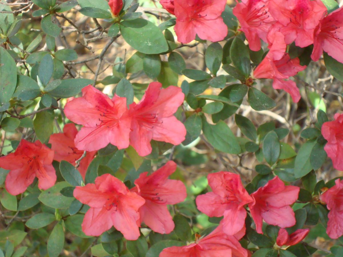 First Azaleas of Spring in our yard