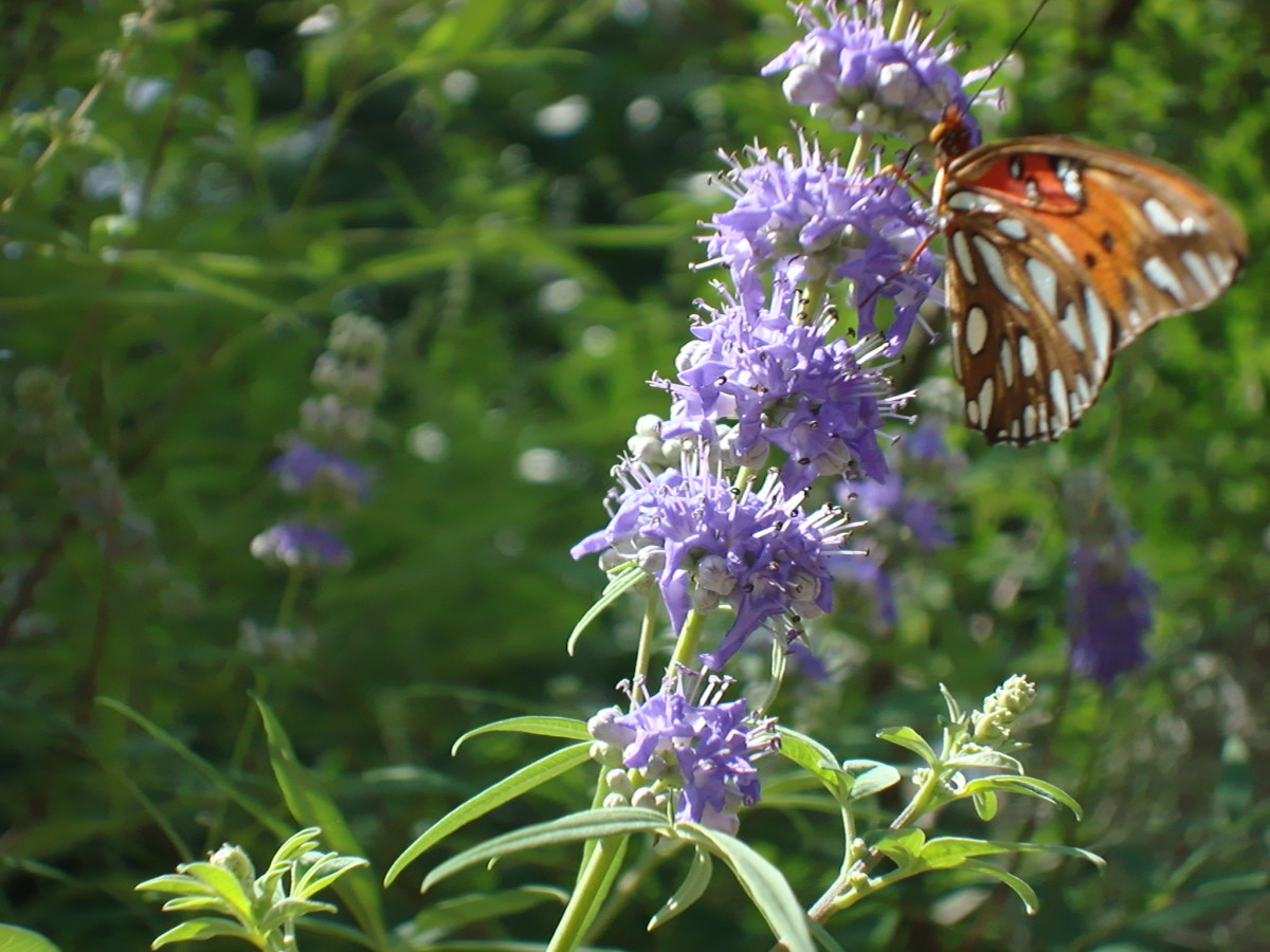 Photo of a Butterfly on my Herb Tree.