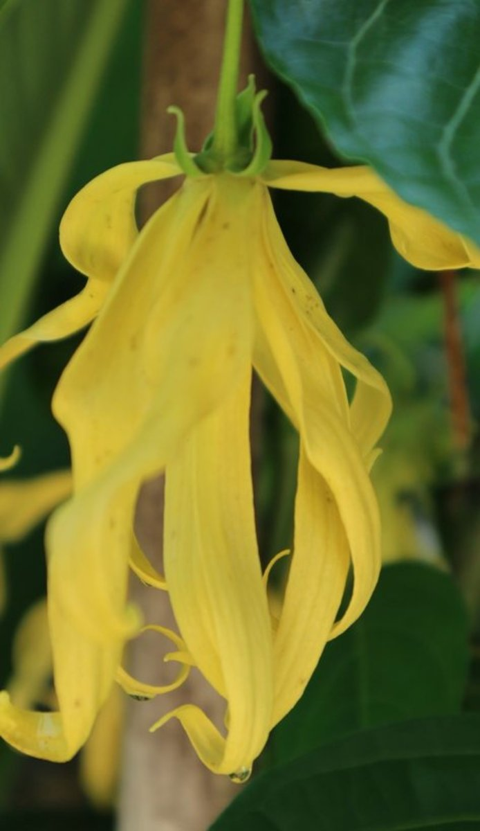 Tropical ylang ylang flowers are distilled into a potent essential oil.