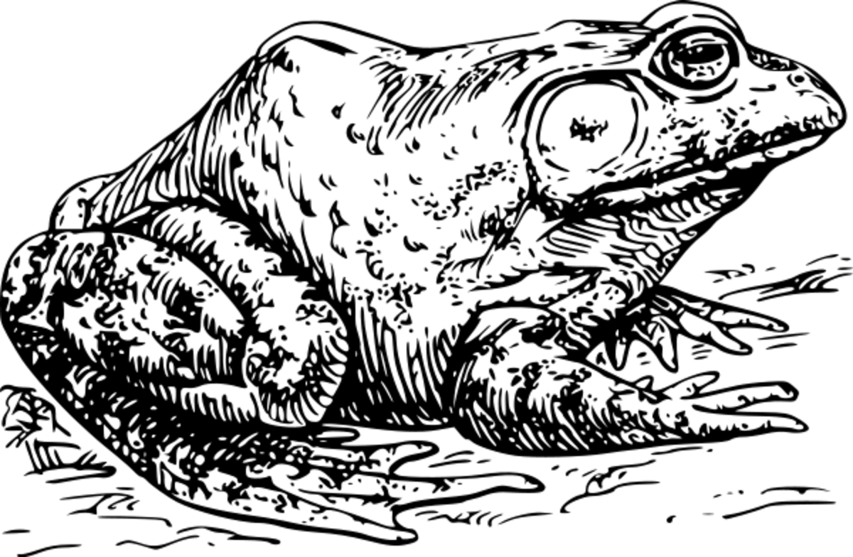Bullfrog is a Compound Word. We used this image to learn how to draw bullfrogs in our Nature Journals when observing the frog pond.