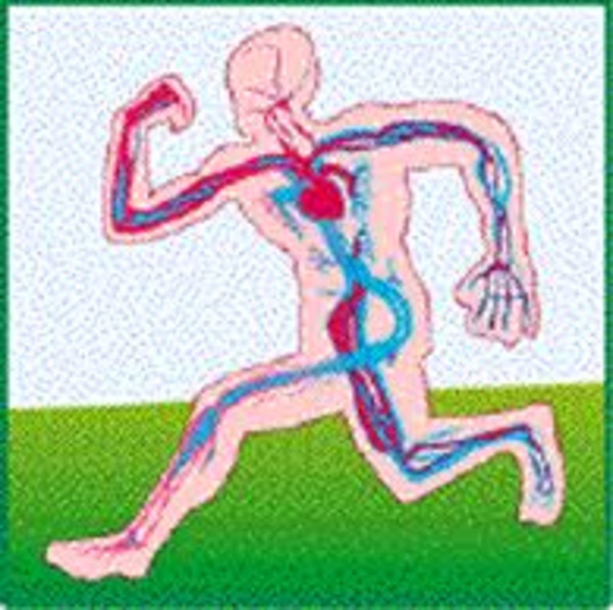 Body's circulatory system