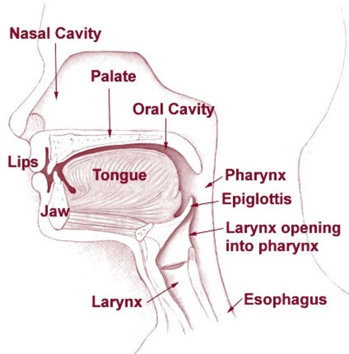 The larynx, or voice box, is the upper section of the trachea, or windpipe. The esophagus is located behind the trachea.
