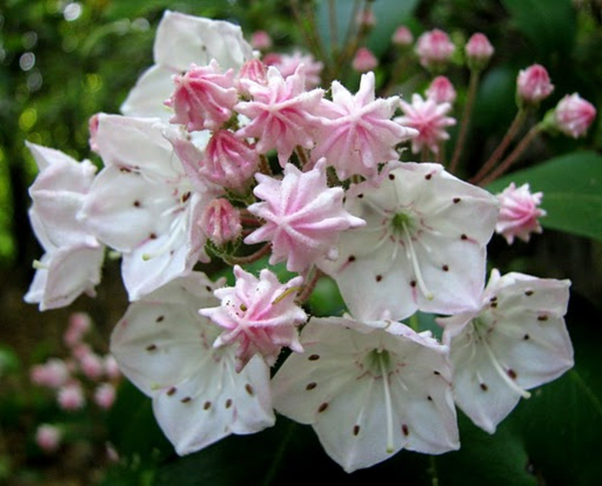 Mountain Laurel Connecticut State Flower