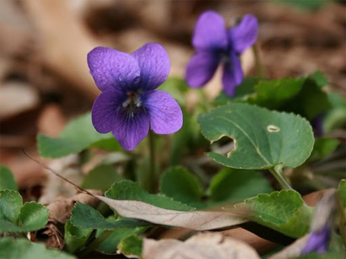 Wood Violet Wisconsin State Flower