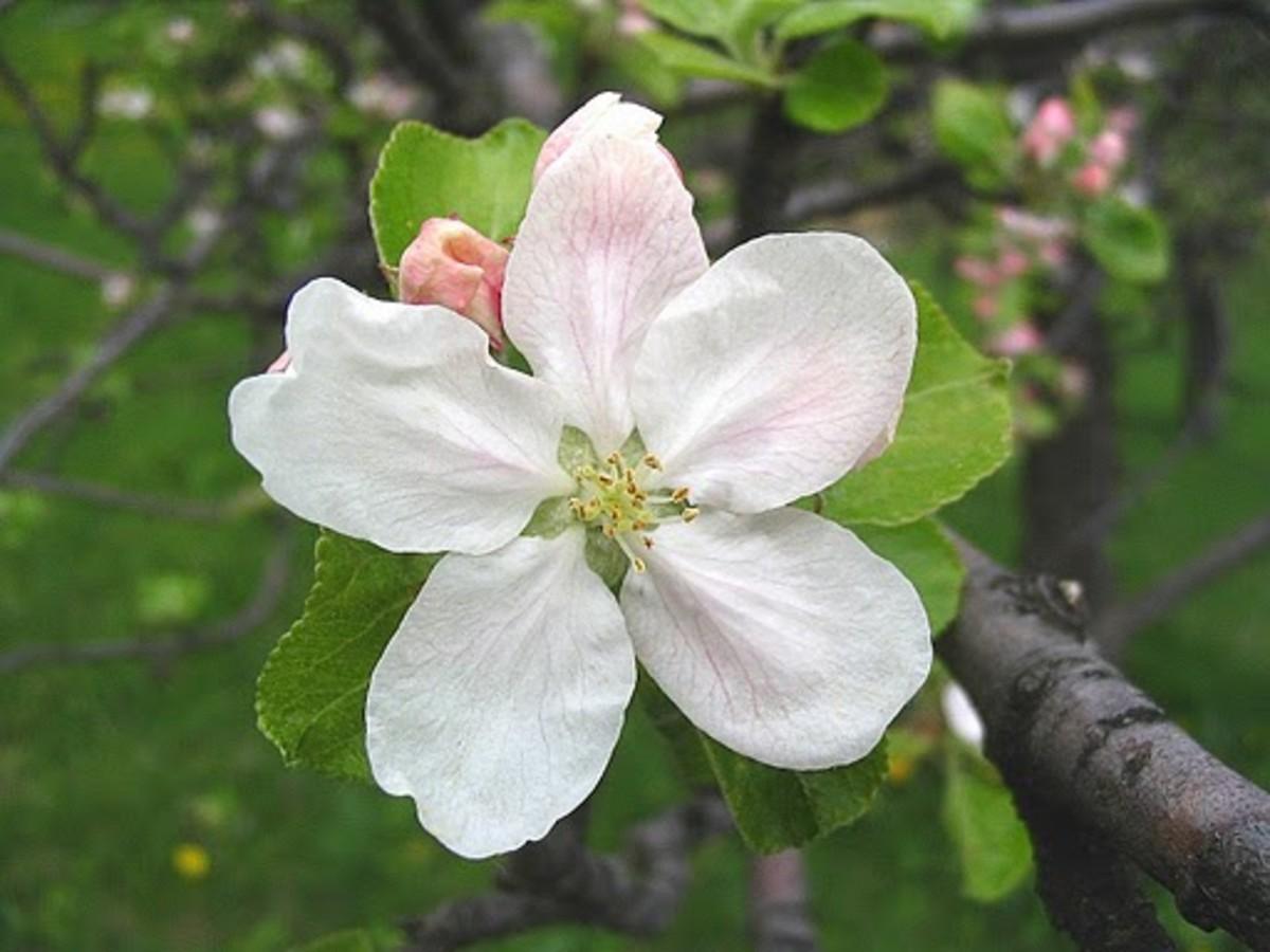 Apple Blossom Arkansas State Flower