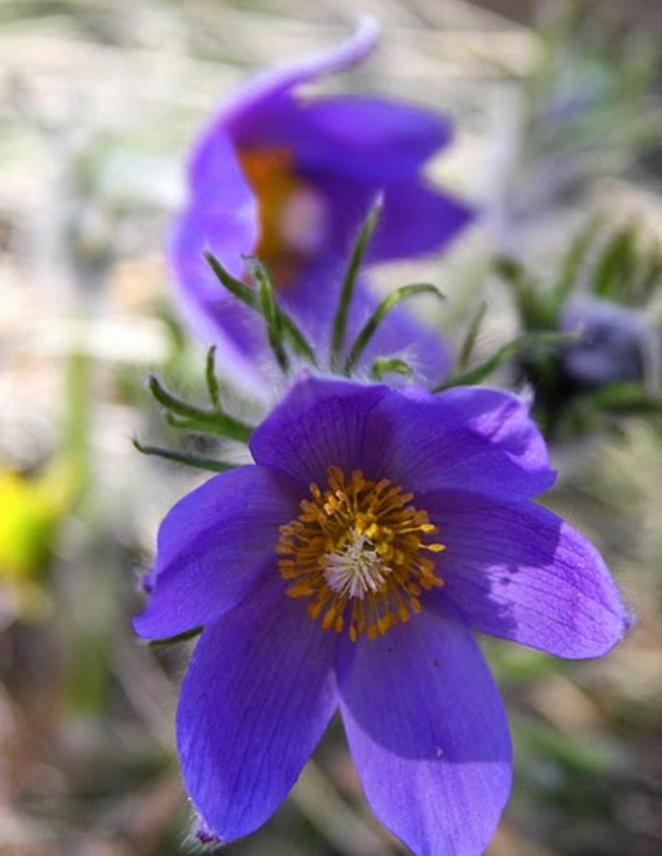 Blue Violet Rhode Island State Flower