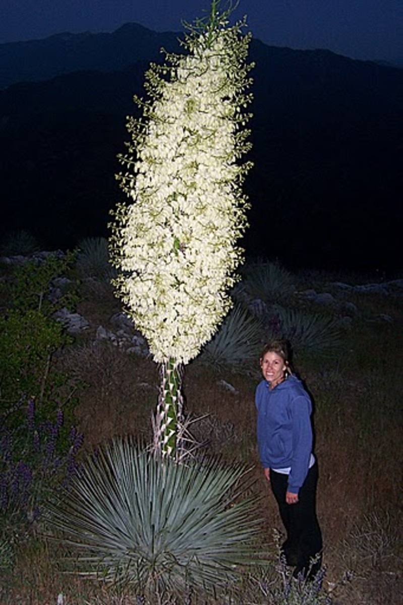 Yucca Flower New Mexico State Flower