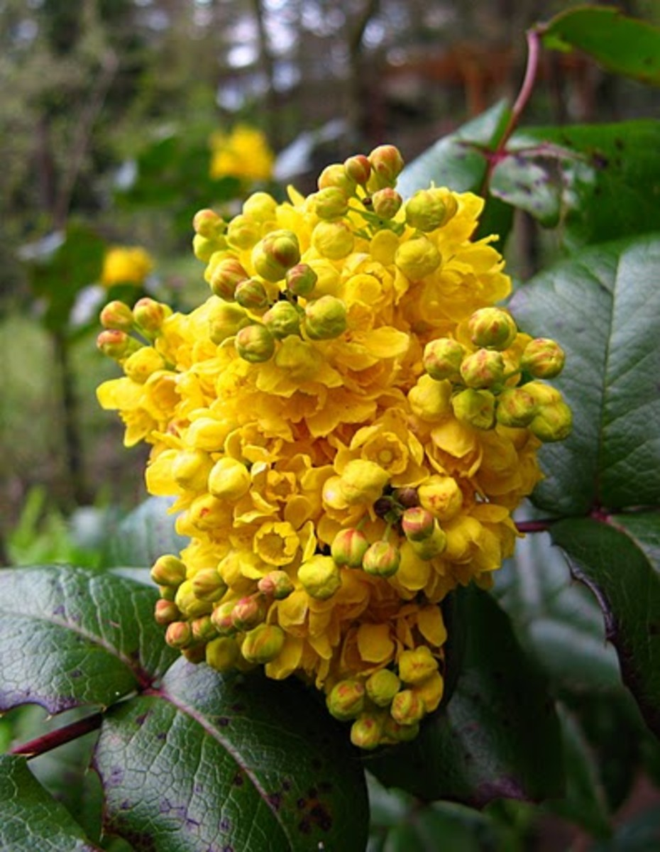 Oregon Grape Oregon State Flower