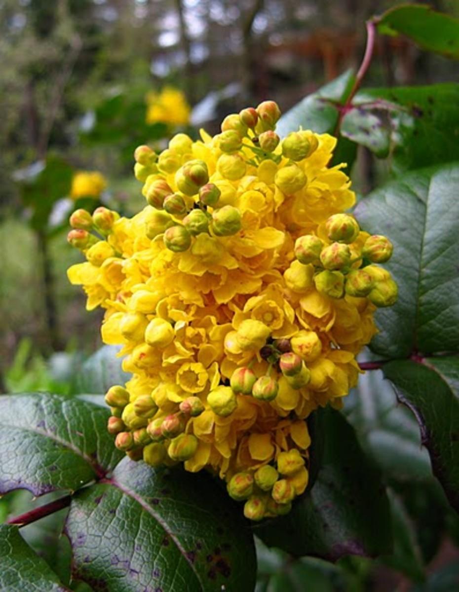 Oregon Grape Oregon State Flower