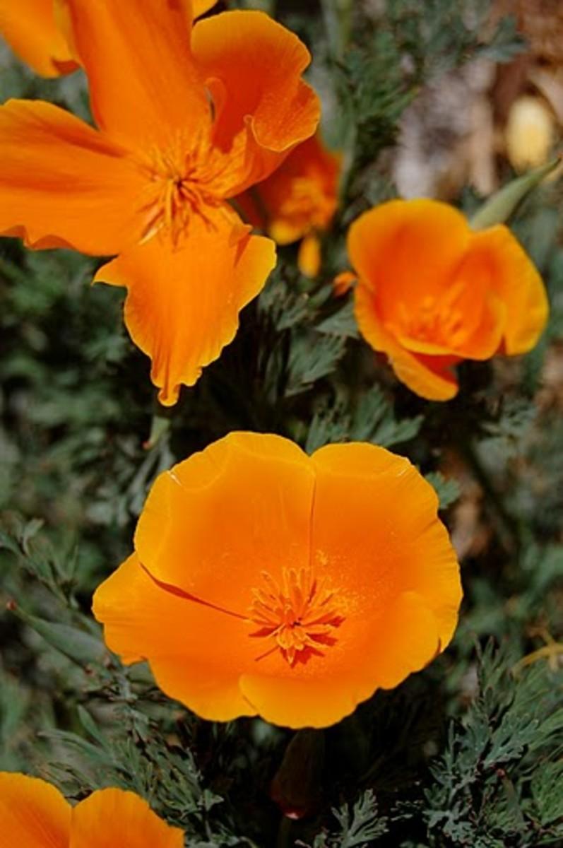 California Poppies California State Flowers