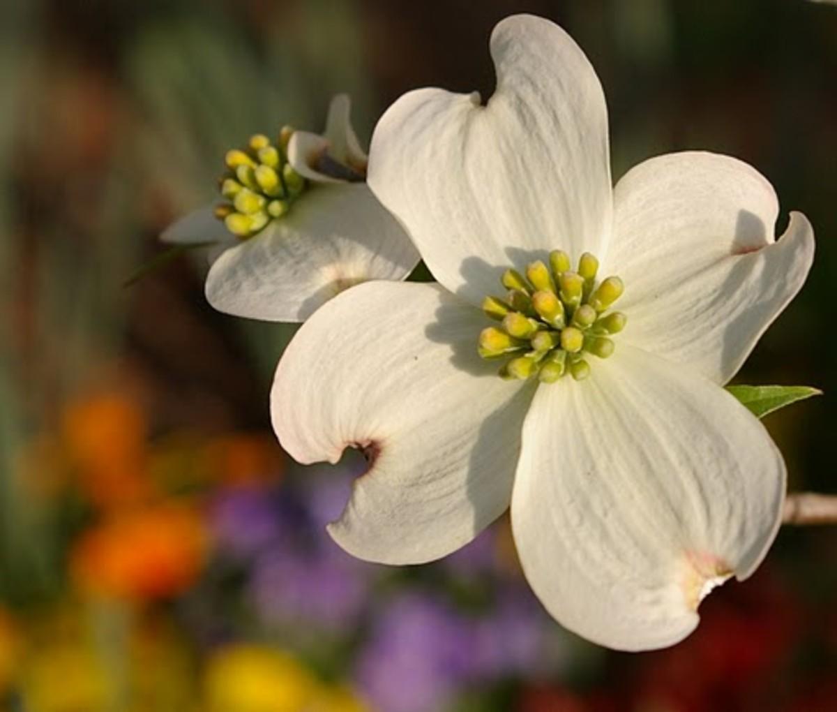 Flowering Dogwood North Carolina State Flower