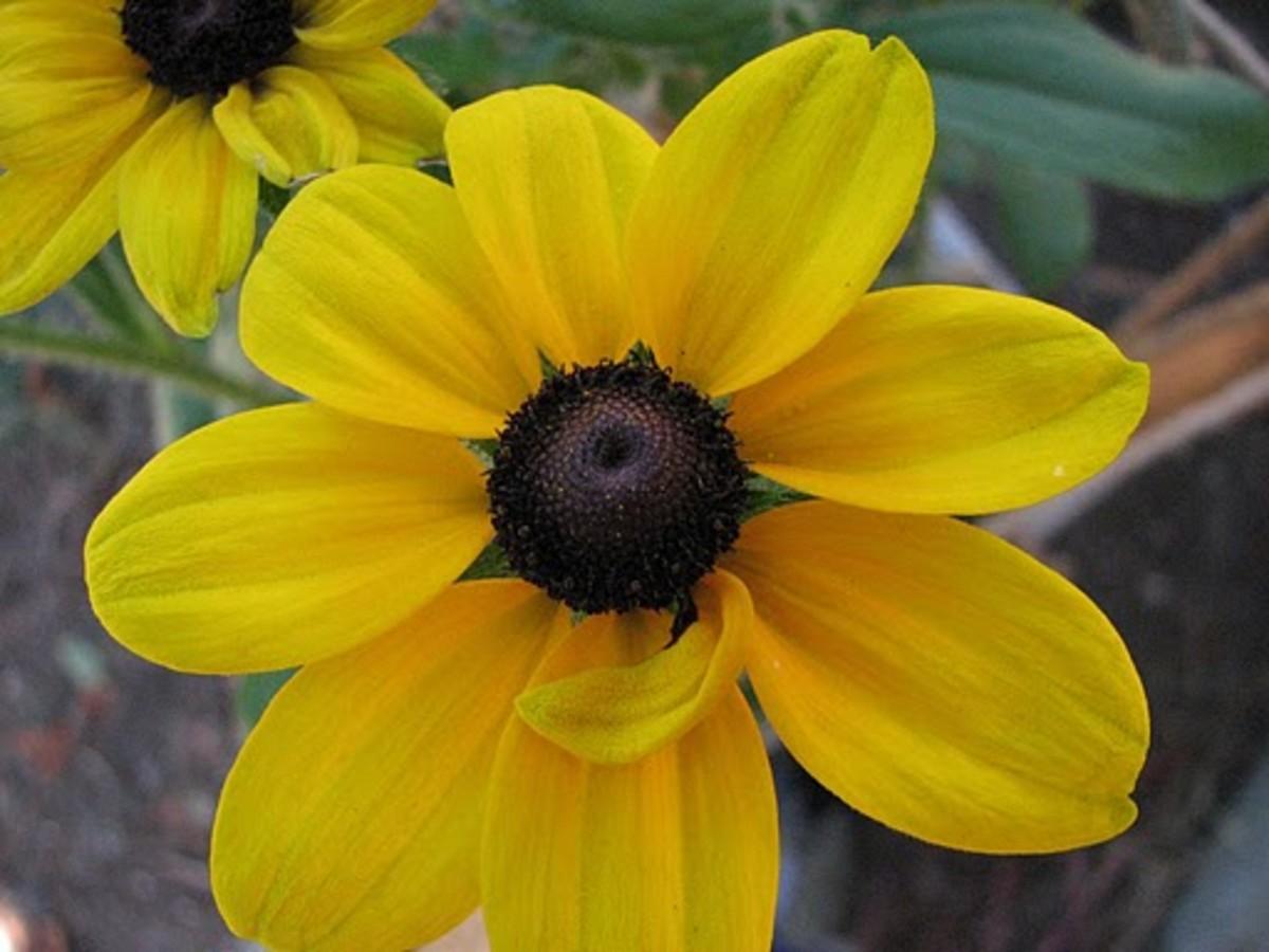Black Eye Susan Maryland State Flower