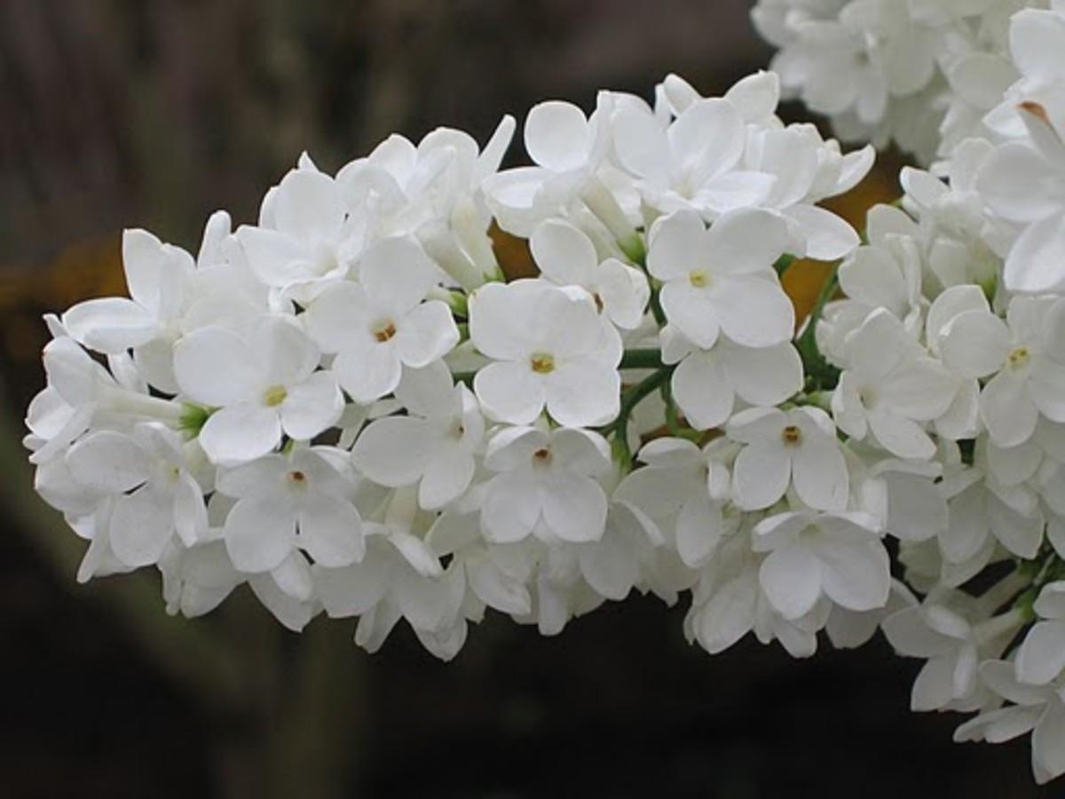 Syringa Idaho State Flower