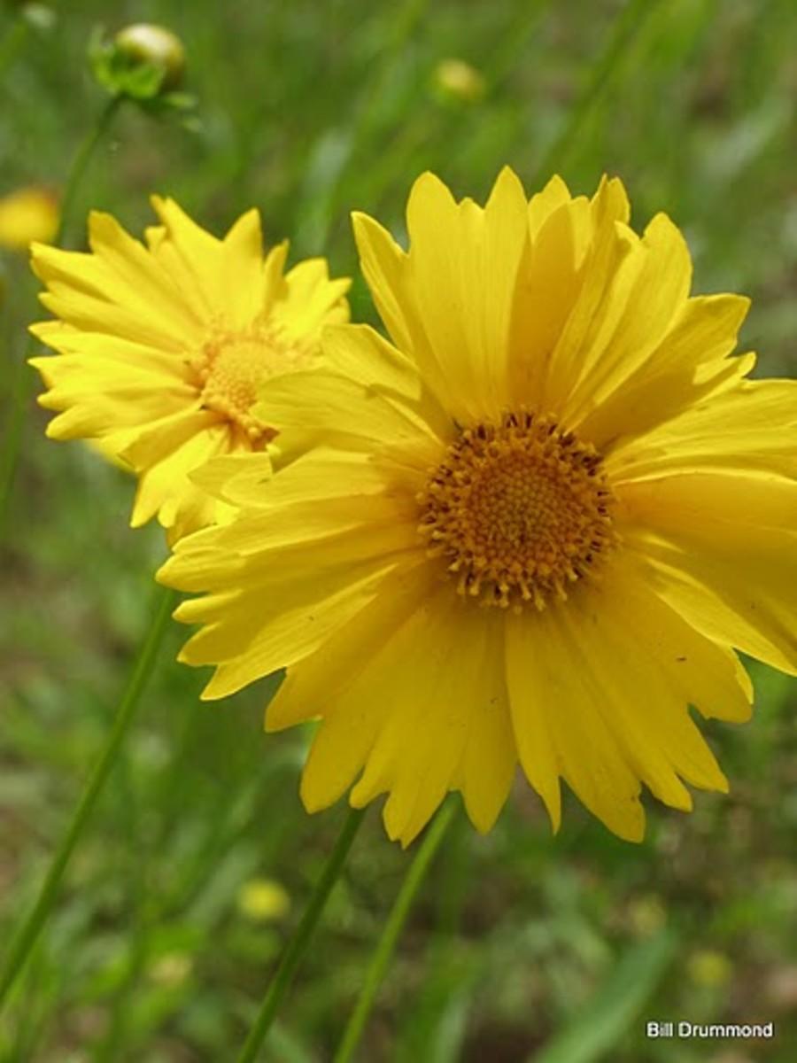 Tickseed Mississippi State Wild Flower