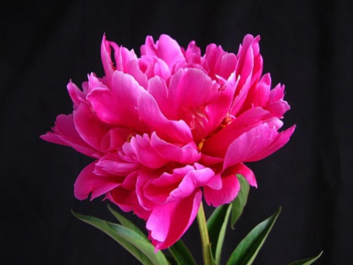 Peony Indiana State Flower