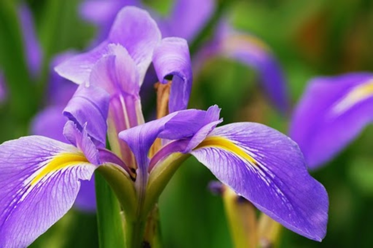 Iris Tennessee State Cultivated Flower