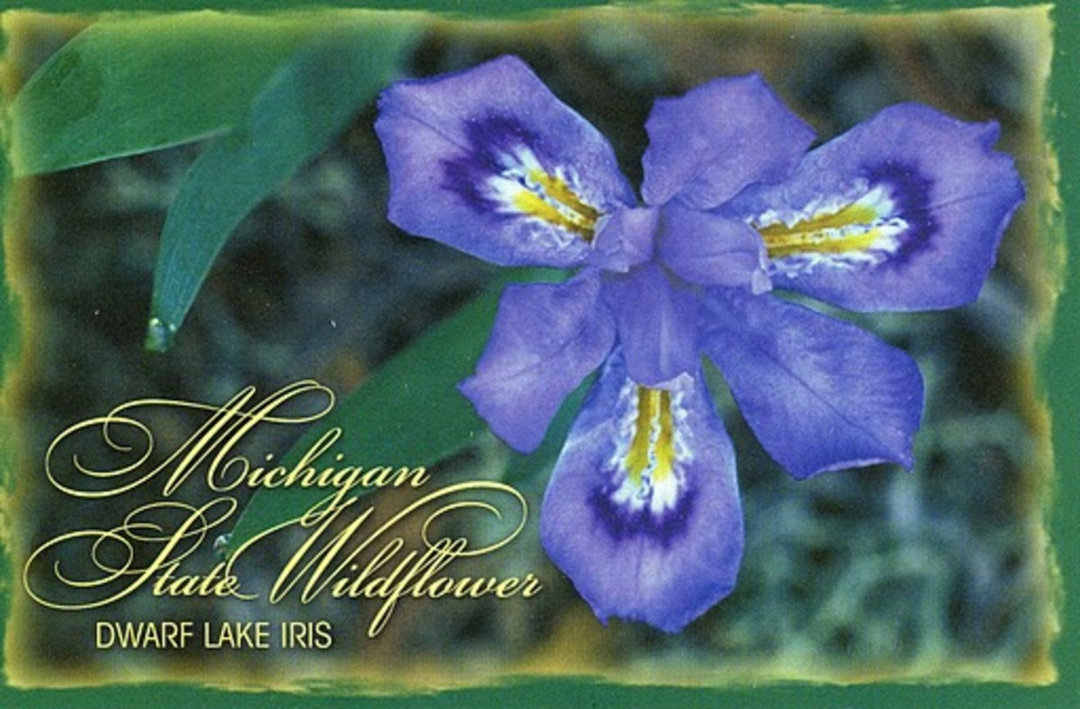 Dwarf Lake Iris Michigan State WildFlower