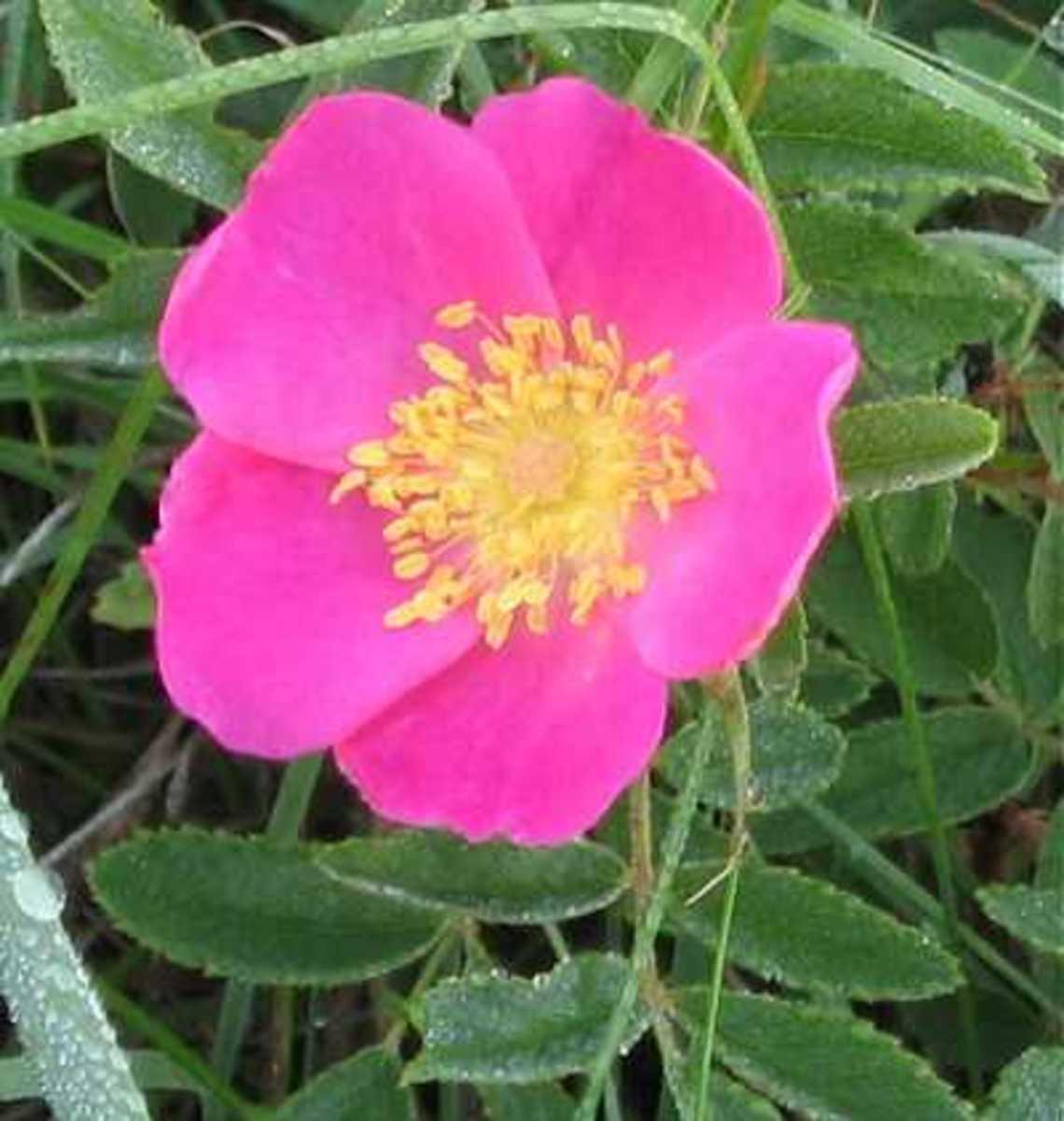 Wild Prairie Rose Iowa State Flower