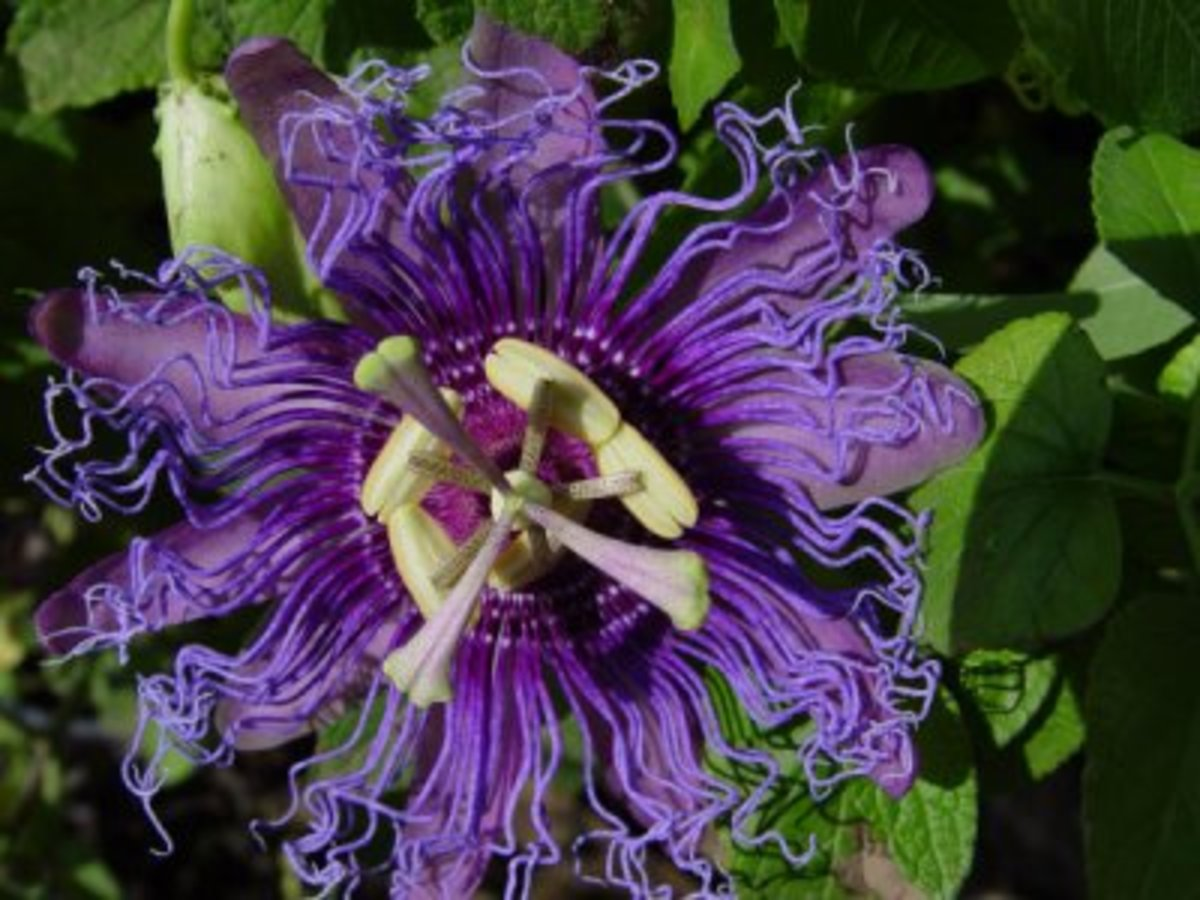 Purple Passion Flower Tennessee State Wildflower