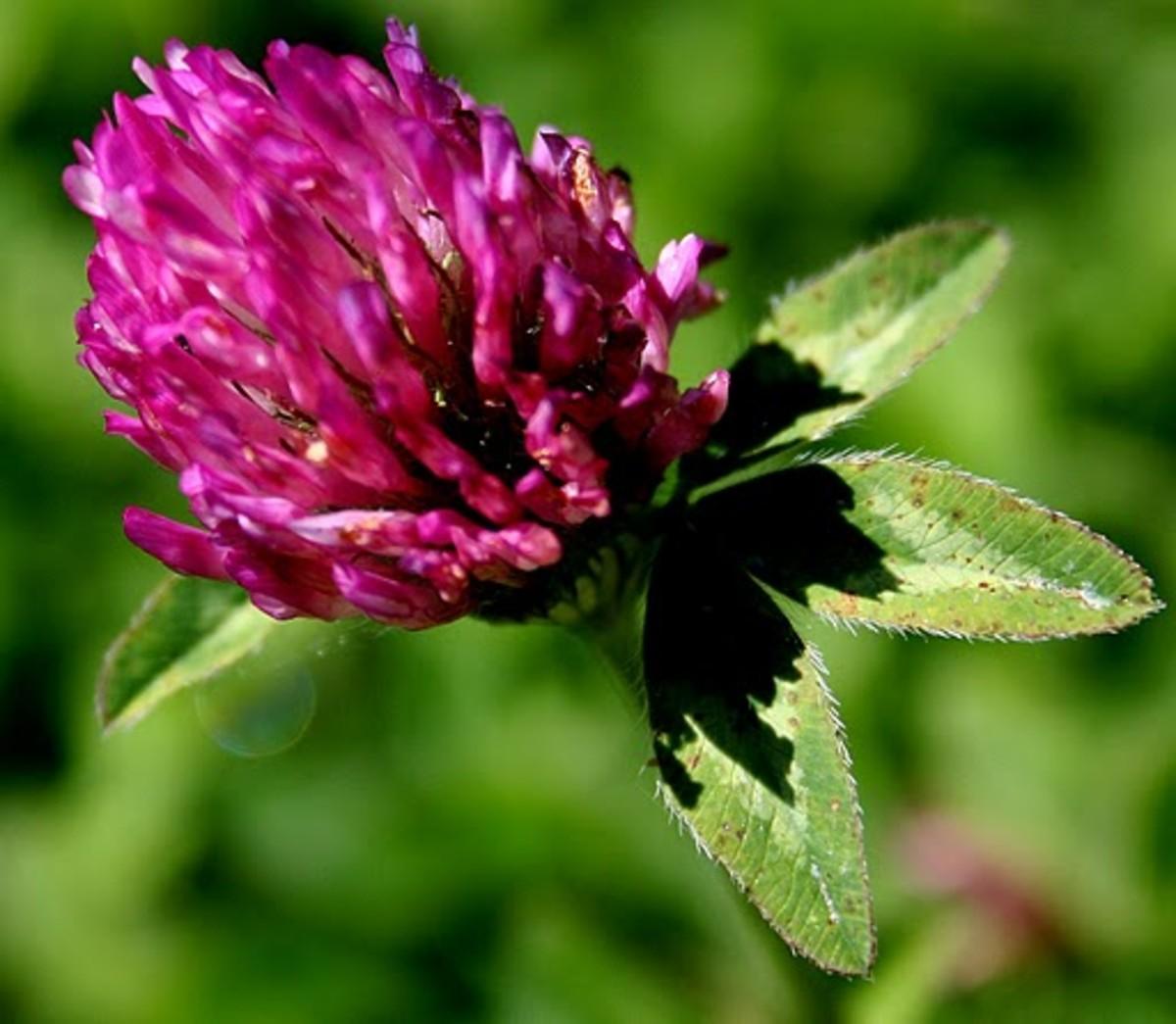 Red Clover Vermont State Flower