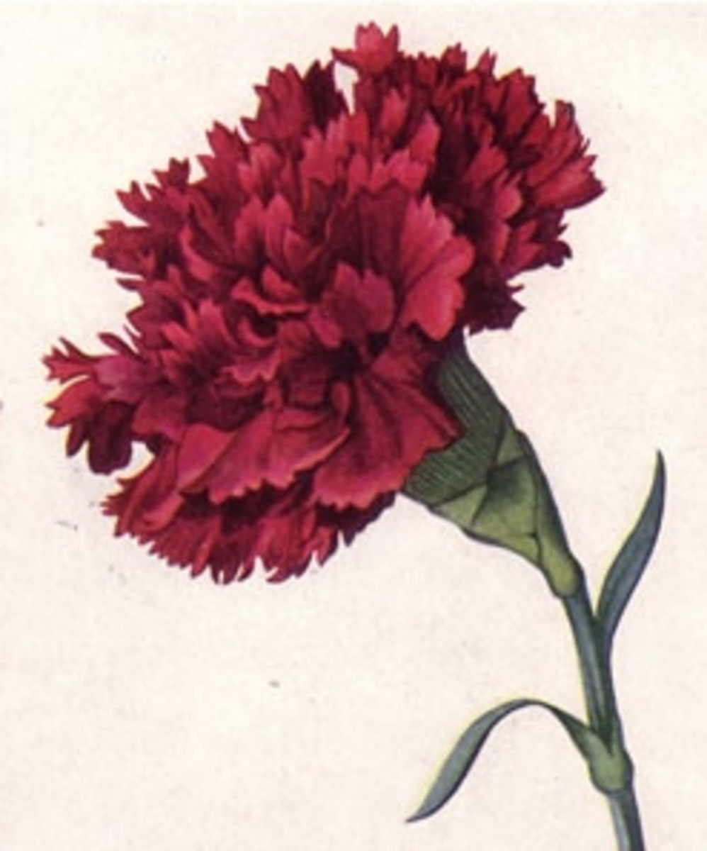 Scarlet Carnation Ohio State Flower
