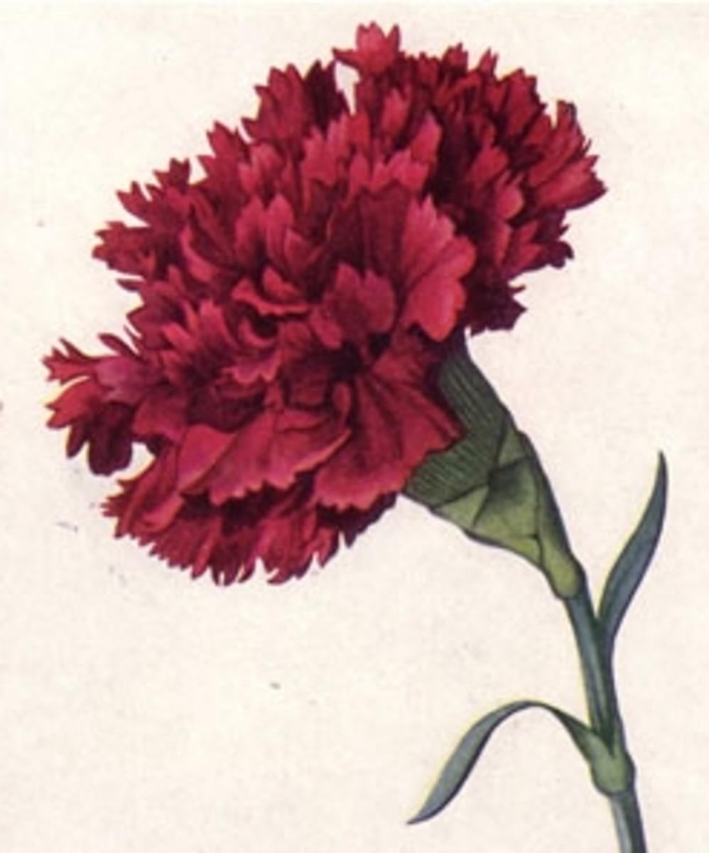 Scarlet Carnation Ohio State Flower