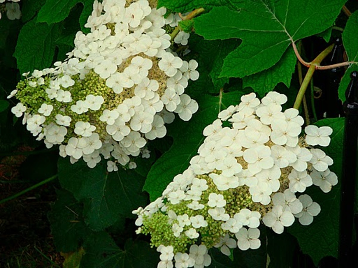 Oak-leaf Hydrangea  Alabama State Wild Flowers