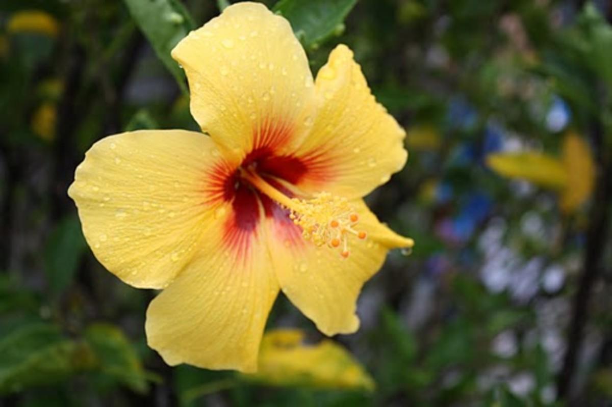 Yellow Hibiscus Hawaii State Flower