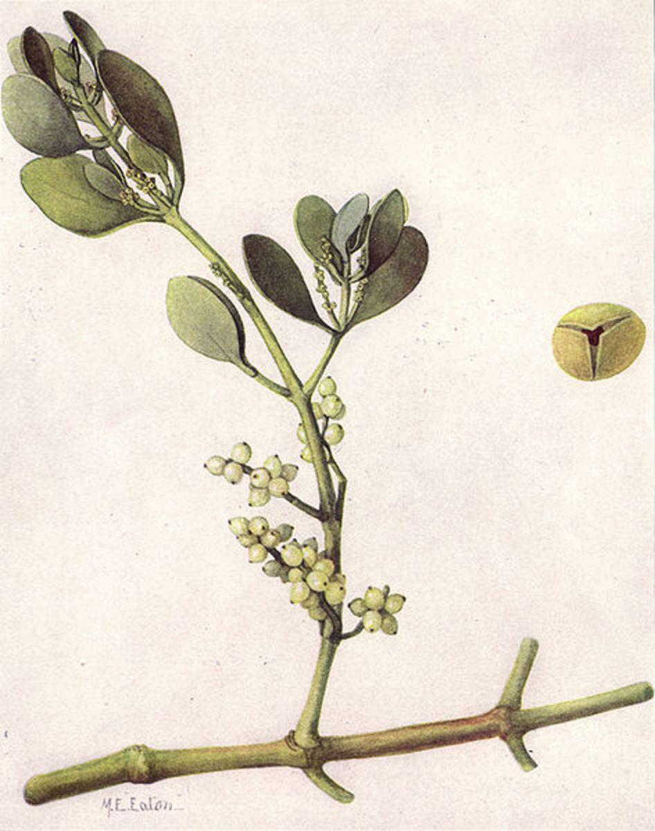 Mistletoe Oklahoma State Flower