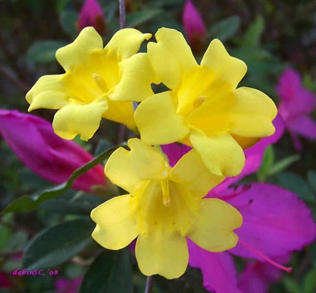 Yellow Jessamine South Carolina State Flower