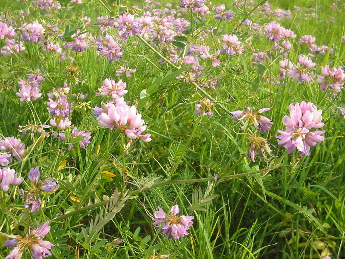 Penngift Crown Vetch Pennsylvania State Flower