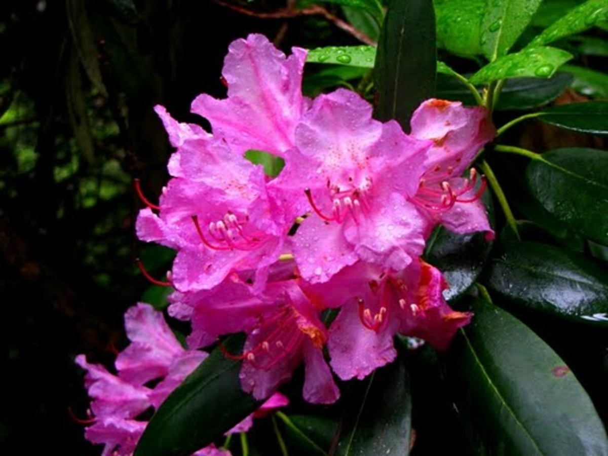 Coast Rhododendron Washington State Flower