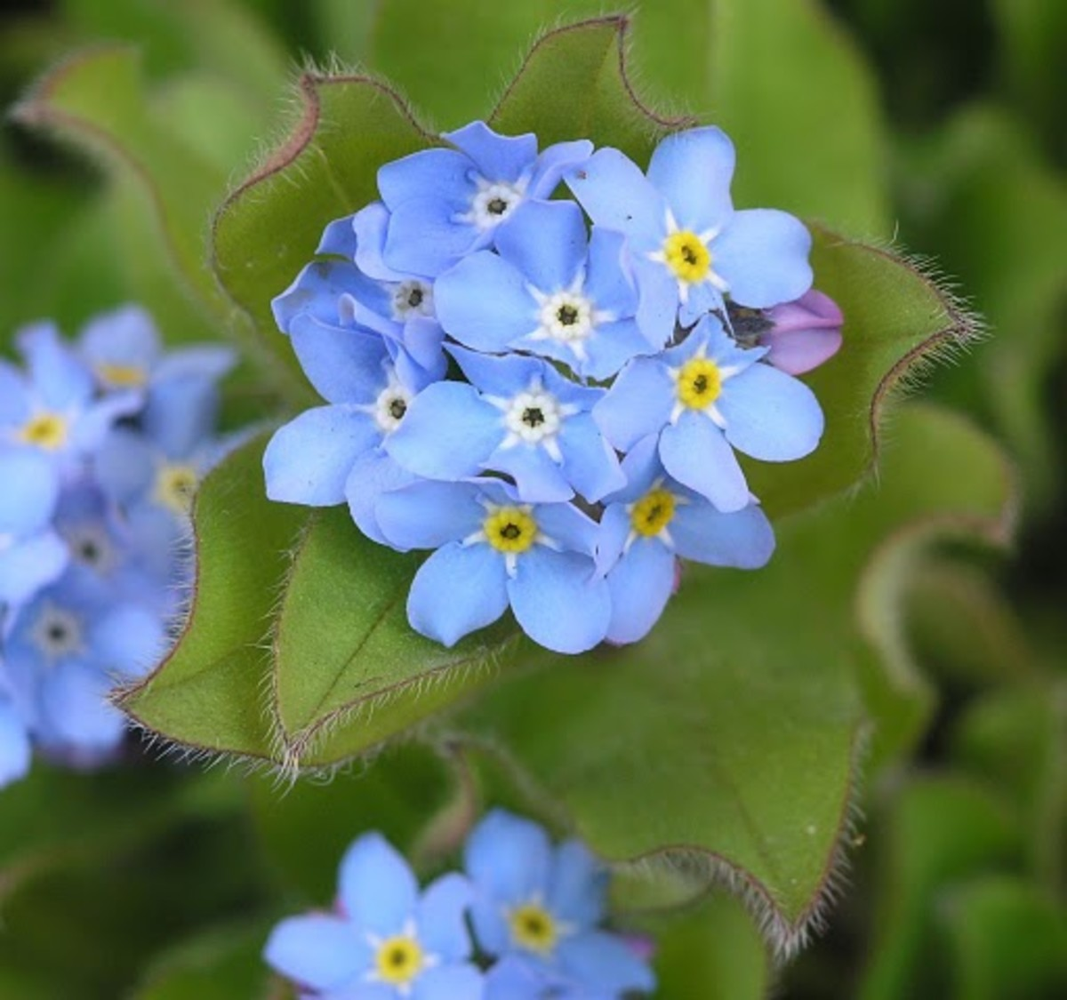 Forget-me-not Alaska State Flowers