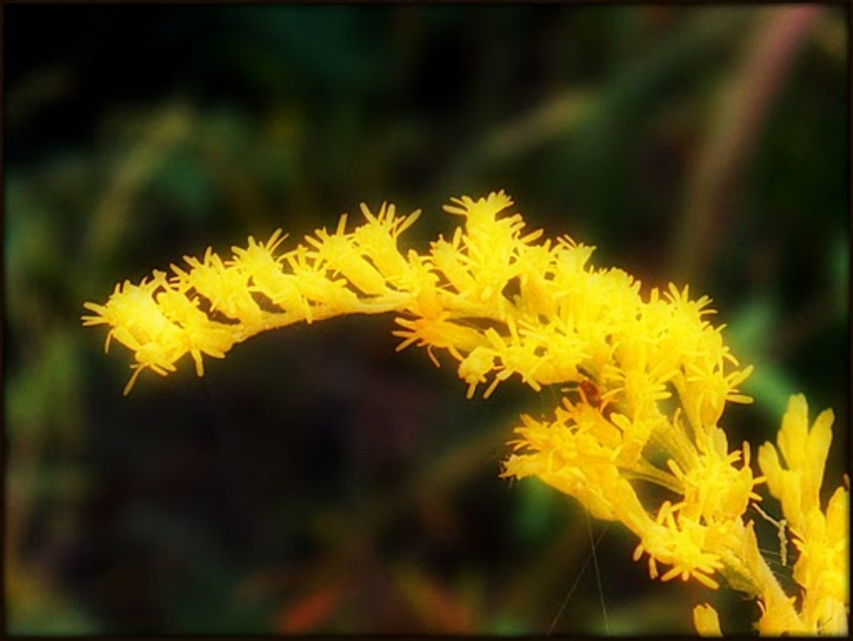 Goldenrod Nebraska State Flower