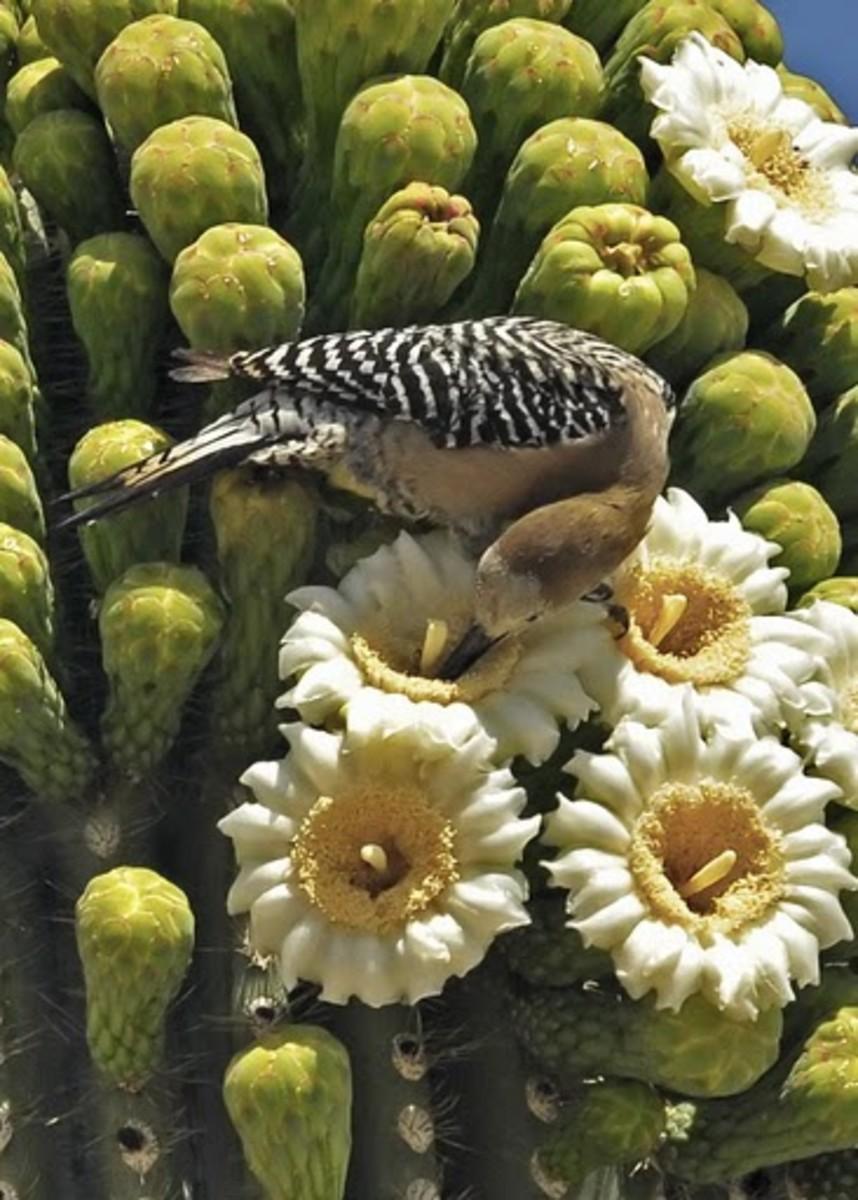 Saguaro Cactus Blossom Arizona State Flower