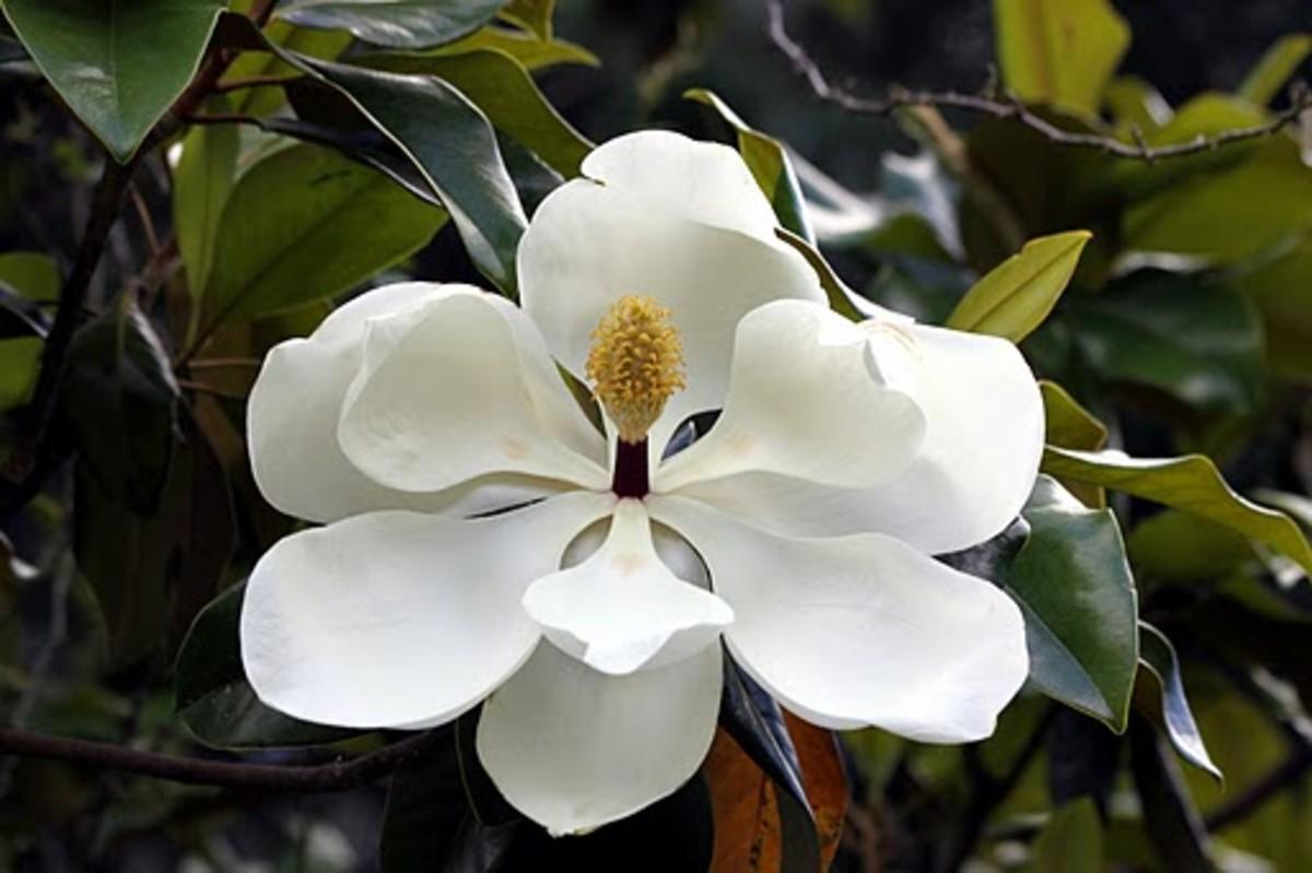 Magnolia Louisiana State Flower