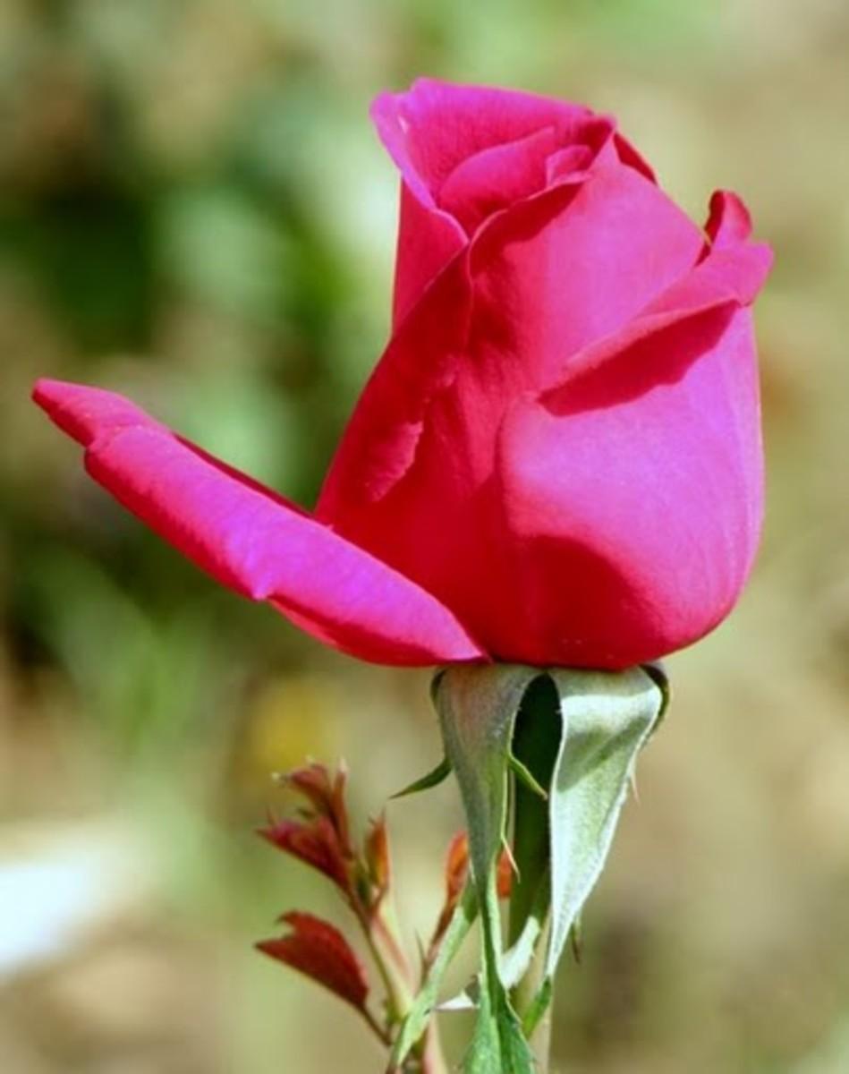 Rose Washington, D.C State Flower