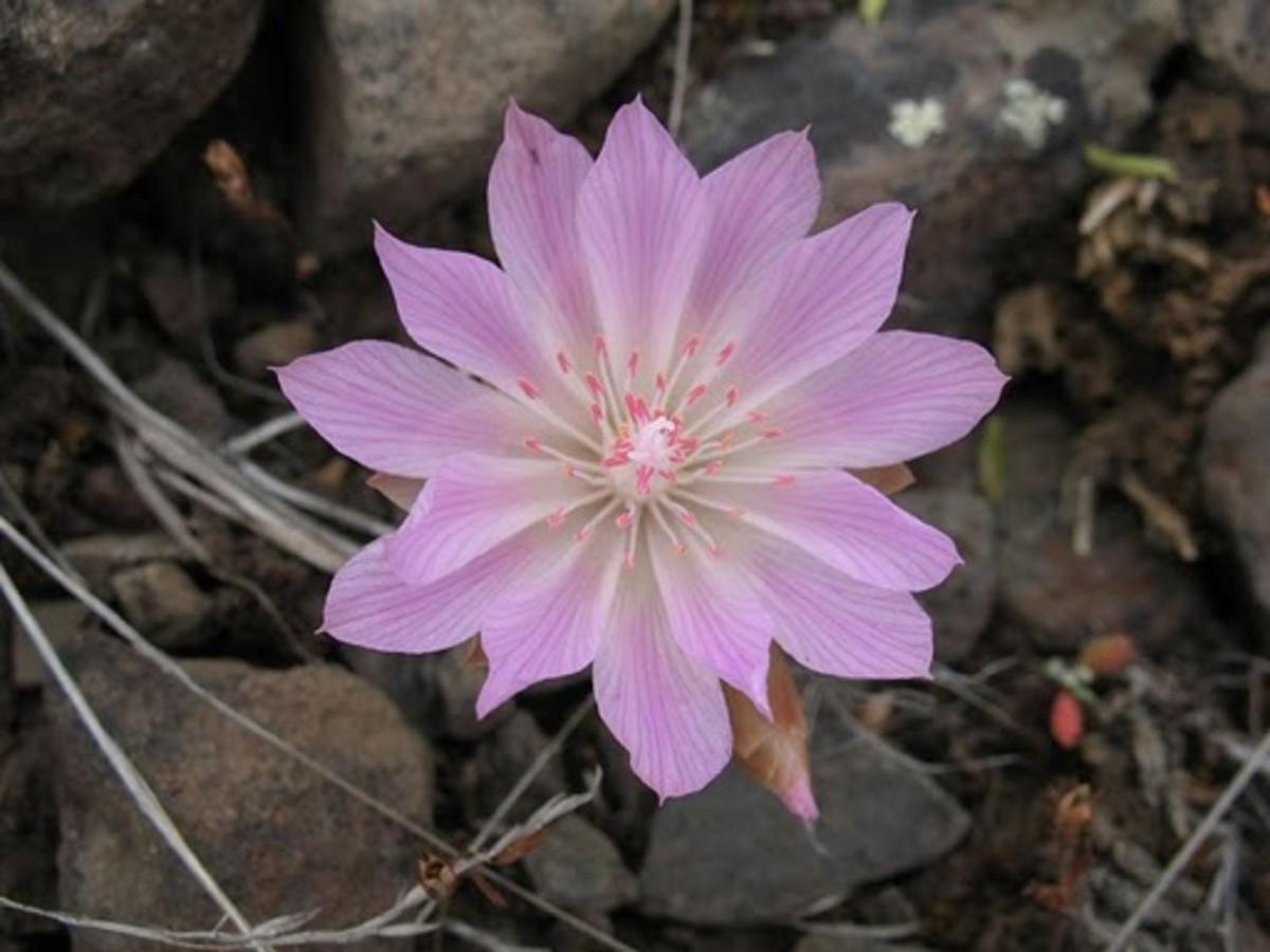 Bitterroot Montana State Flower