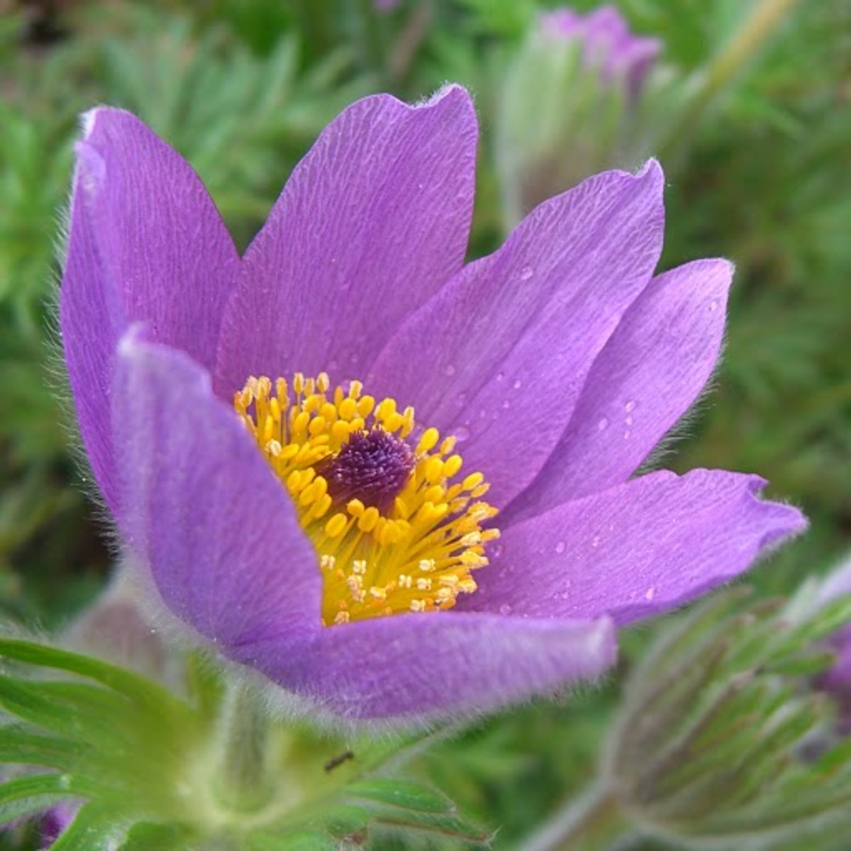 Pasque Flower South Dakota State Flower