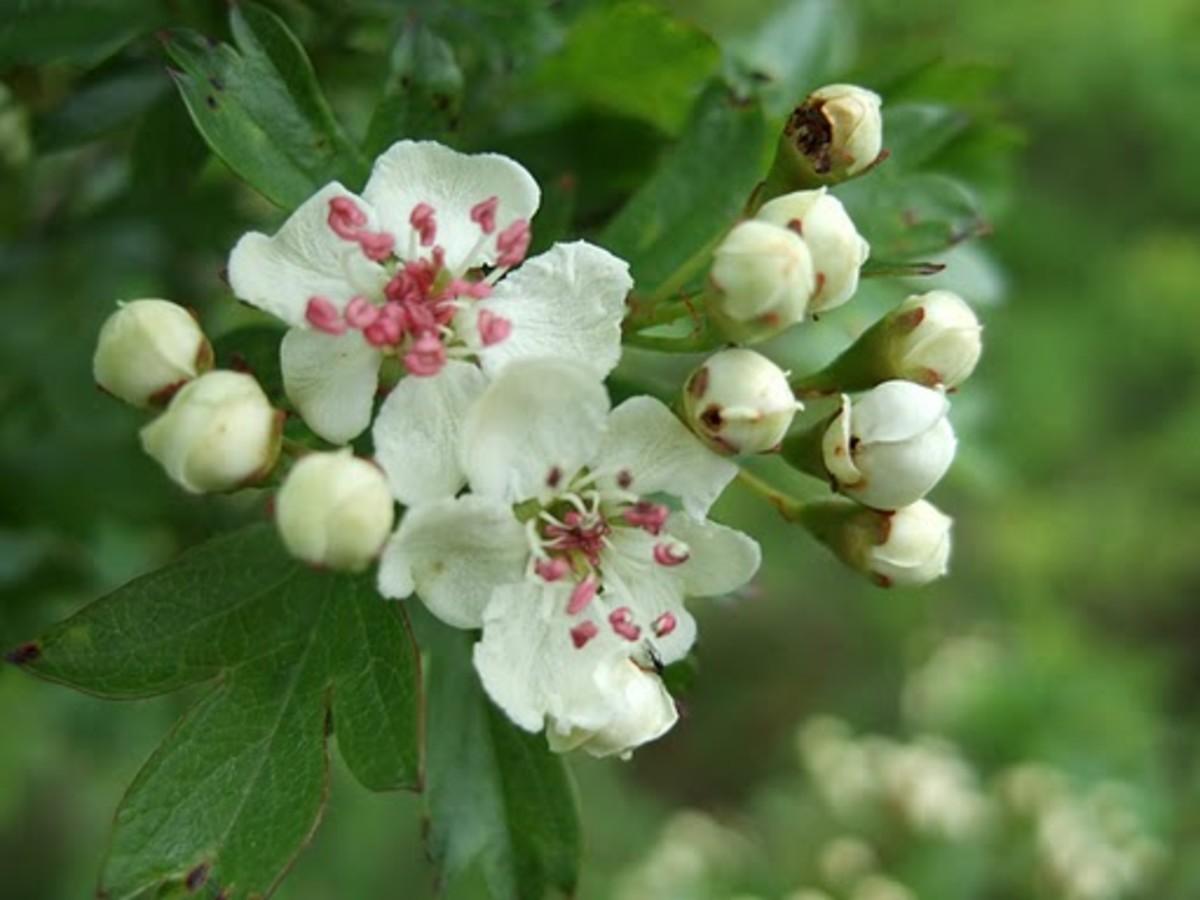 Hawthorn Missouri State Flower