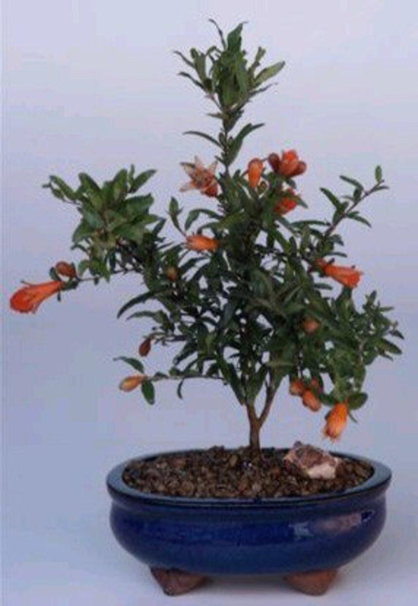 How to Grow the Dwarf Pomegranate Tree
