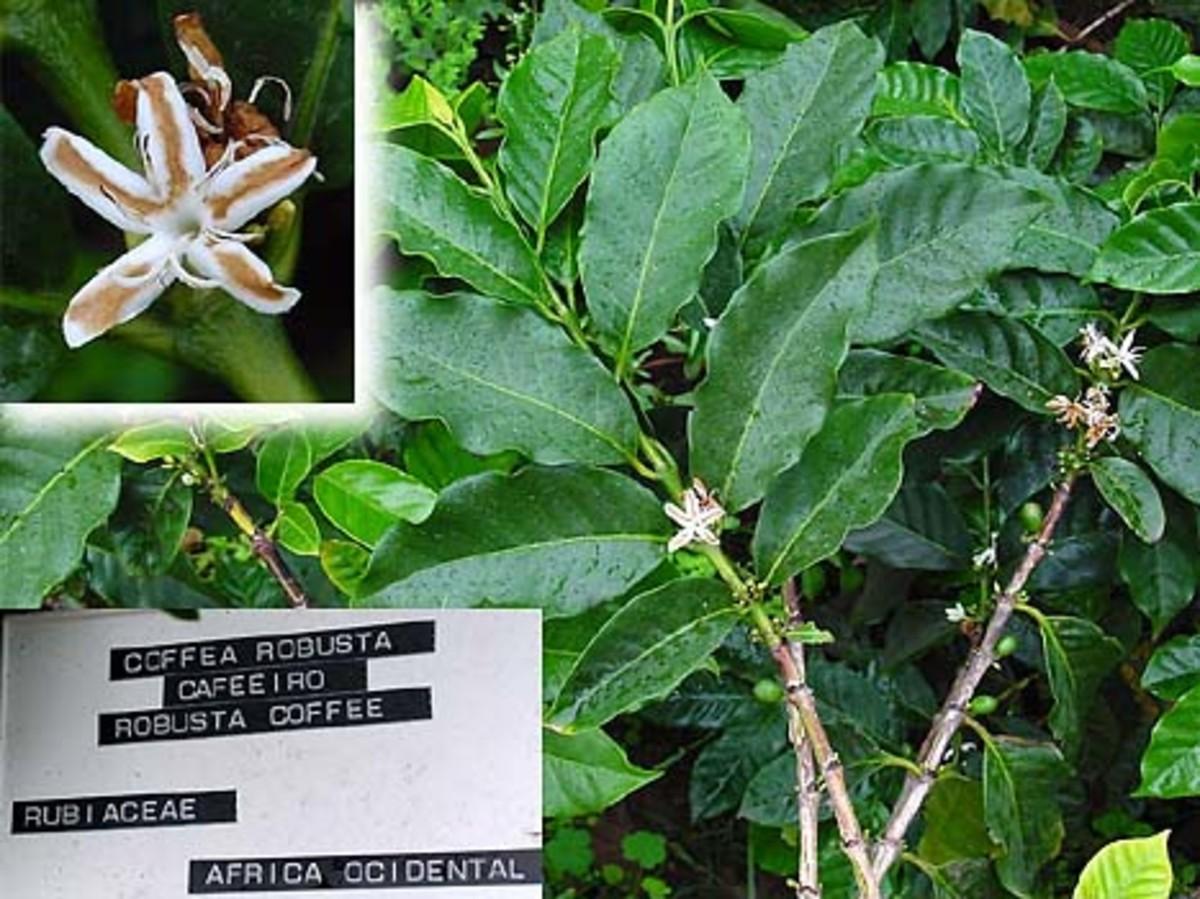Robusta coffee, source Wikipedia - history of coffee mugs