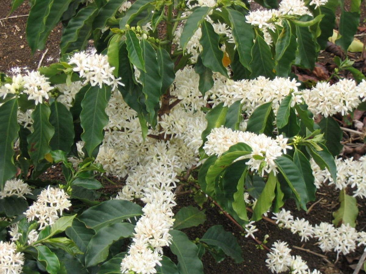 Arabica coffee flowers, source Wikipedia - history of coffee mugs