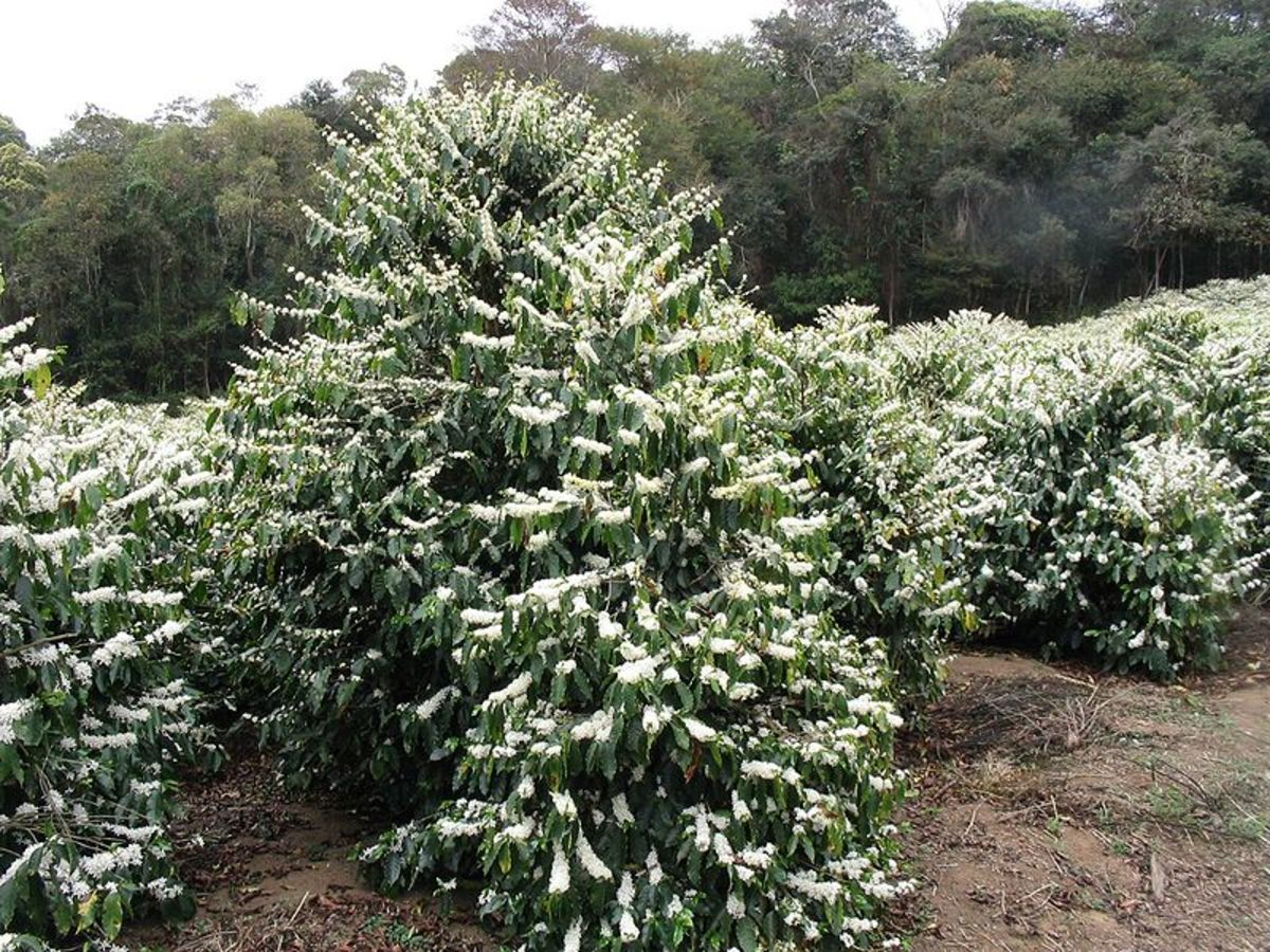 A flowering Coffea arabica tree in a Brazilian plantation. source Wikipedia - history of coffee mugs