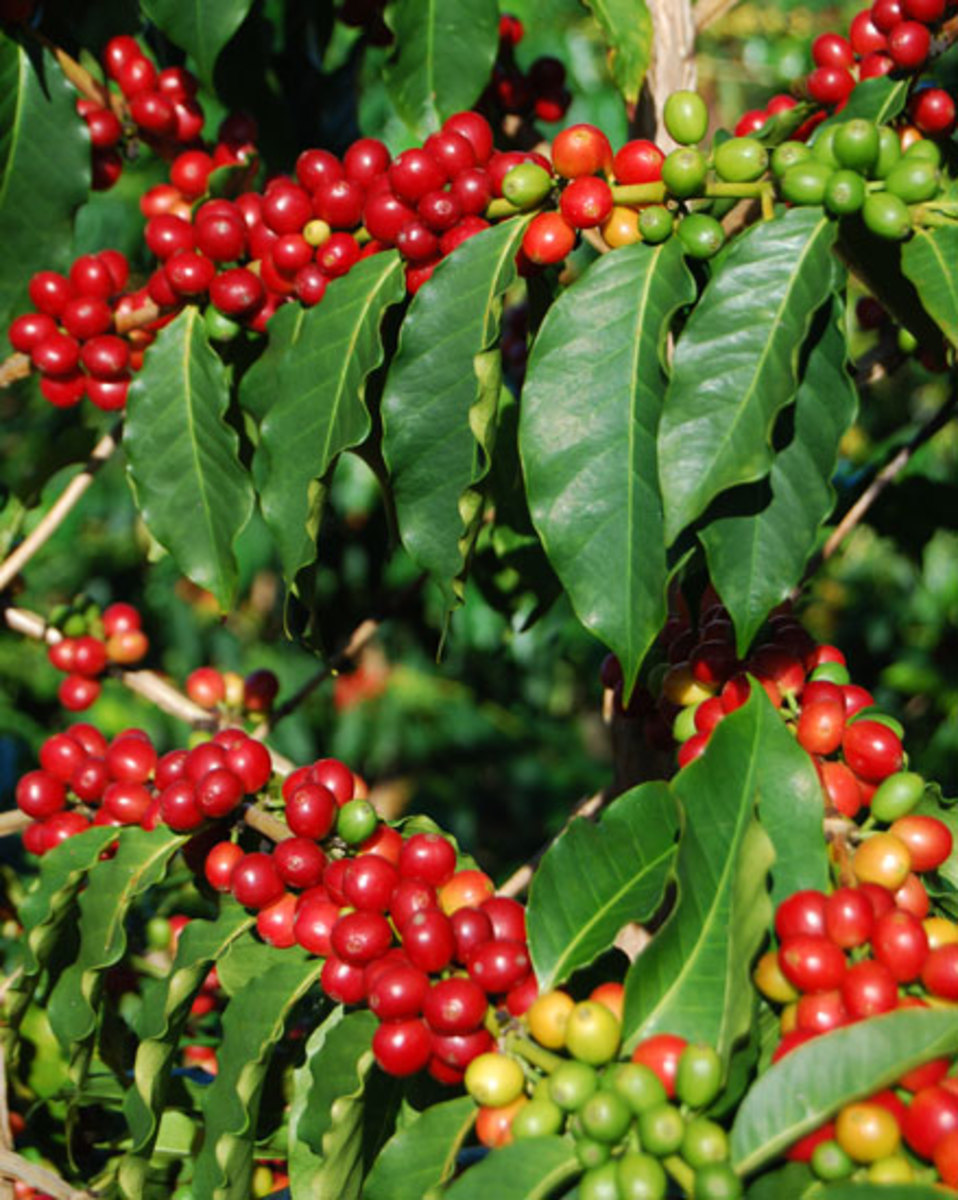 Kona coffee from Sweet Spirit Farms - history of coffee mugs