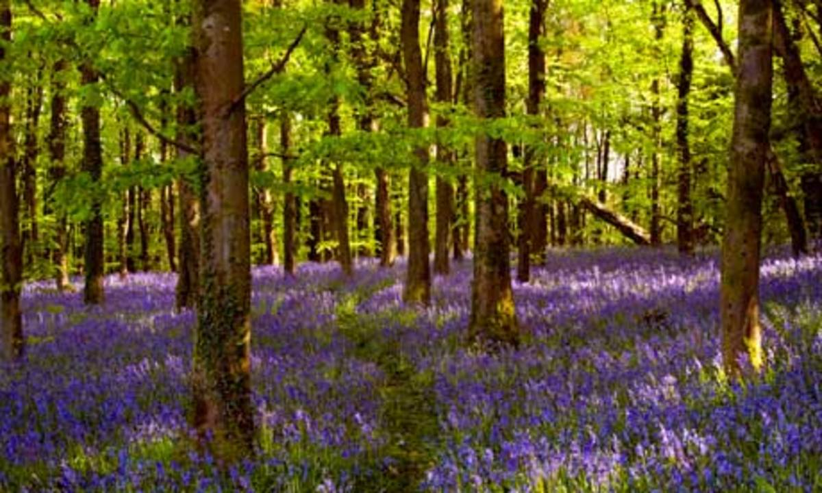 Bluebell Woods at Coed Cefn Crickhowell near Abergavenny Wales  Photograph by Alamy
