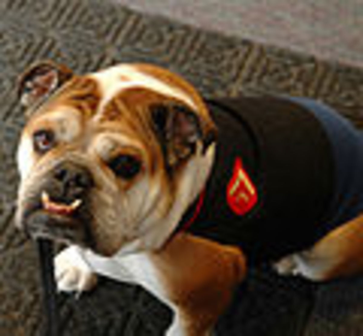 Mollyblues--Lance Corporal Molly Englsih bulldog mascot of the Marine corps recruit depot San diego