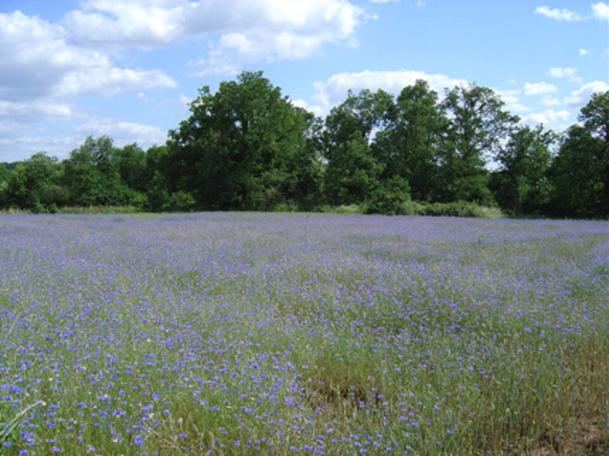 A field full of cornflowers just outside Videix - the Limousine bulls and Limousine cows are going to get a good diet